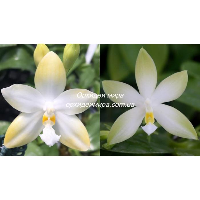 Фаленопсис (Yaphon Gem Flava x Violacea Alba)