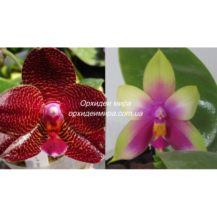 Phal. Yaphon Mituo Sir x Yins Bellina Queen
