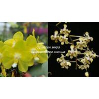 Phal. Yaphon Perfume Yellow x Celebensis Yellow
