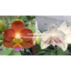 Phal. Yaphon Perfume x Rainbow Falconer