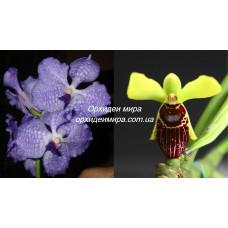 V. Coerulea x Lsa. Thailandica