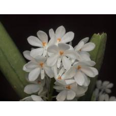 Asc. Ampullaceum alba