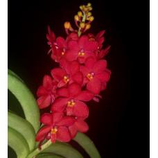Asc. Curvifolium 1,7