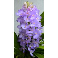 Asc. Lilac Blossom