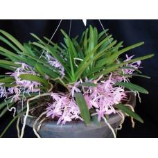 Ascofinetia Cherry Blossum