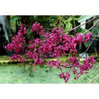 Ascoglossum Calopterum