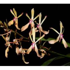 Ren. Vietnamensis x Neof. Falcata Pink