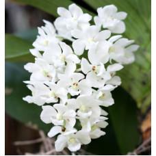 Rhy. Gigantea alba близкие к цветению