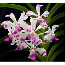 V. Luzonica