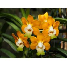 V. Denisoniana Orange