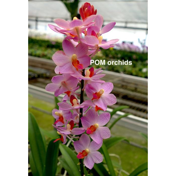 Ванда (Vandaenopsis Henry Wallbrunn)