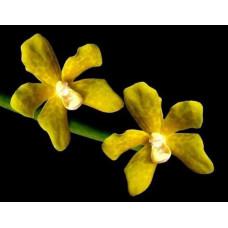 Vdps. Lissochiloides alba
