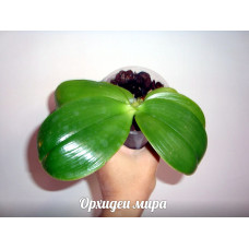 Миди орхидеи