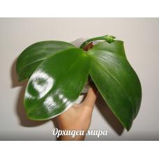Крупные орхидеи
