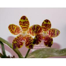 Коричневые орхидеи