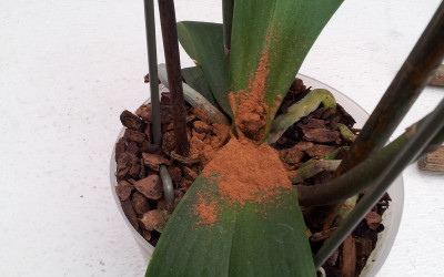 Фаленопсис без точки роста