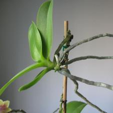 Всё о детках орхидей