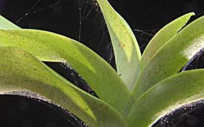 Клещи на орхидее