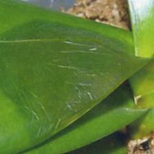 Обморожение листьев орхидеи
