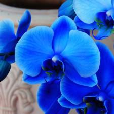 Вся правда о синих и голубых орхидеях