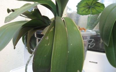 Трещины на листьях орхидеи