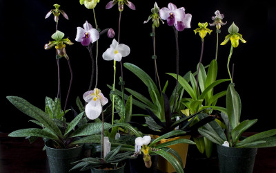 Уход за орхидеей башмачок