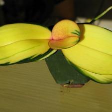 О вариегатных орхидеях