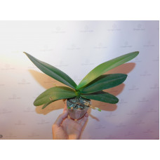 Взрослые орхидеи