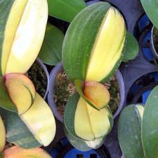 Вариегатные орхидеи