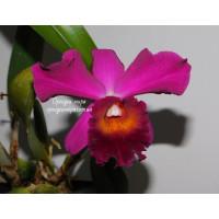 Cattleya Hybrid бордо