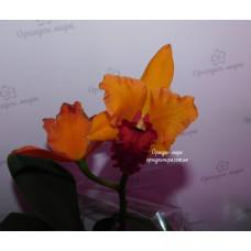Cattleya Hybrid №358