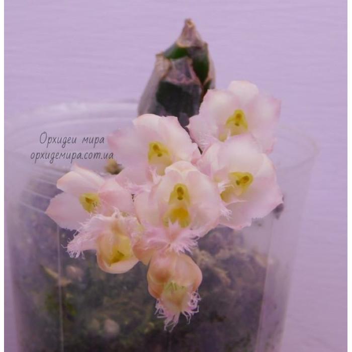 Cl. Jumbo Grace Jumbo Orchids