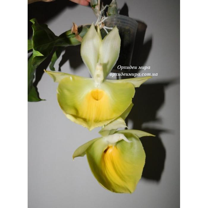 Ctsm. Pileatum Jumbo Green Gold