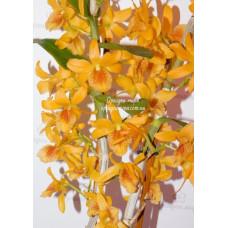 Den. Stardust Orange