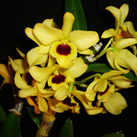Den. Nobile Yellow Dark Eye