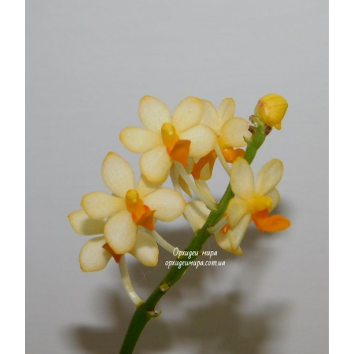 Dor. Pulcherrima x Asc. Miniatum YC Yellow