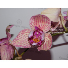 Dtps. I-Hsin Sun Beauty Trinity 3 lips