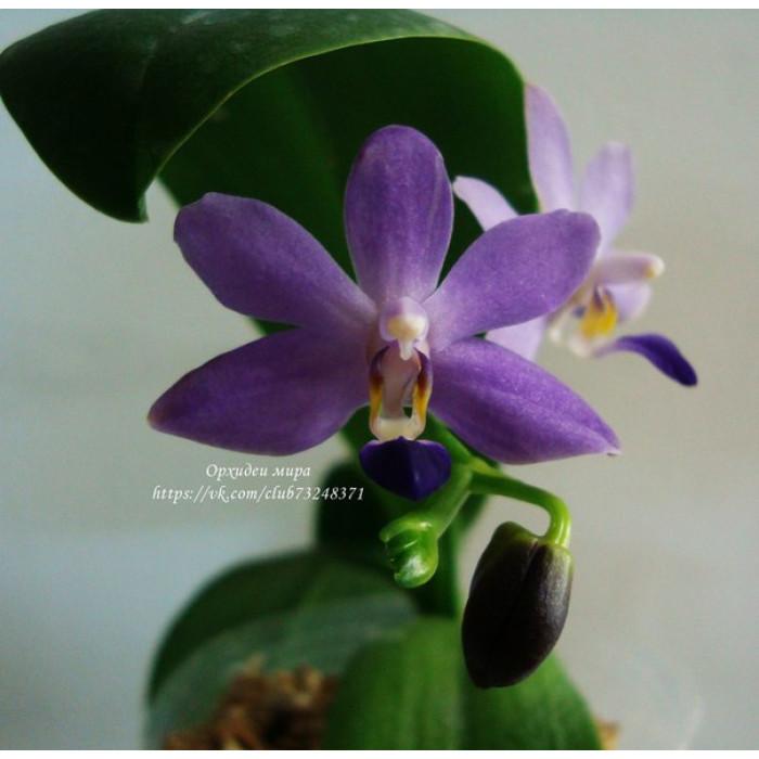 Фаленопсис (Purple Martin 3,5)
