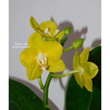 Dtps. Sogo Golden уценка
