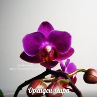 Doritaenopsis Sogo Yenlin Coffee