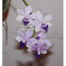 Phal. Tzu Chiang Sapphire Blue