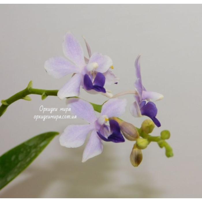 Фаленопсис (Tzu Chiang Sapphire уценка)