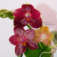 Phal. Tying Shin Coffee Candy и Phal. AL Sun Hannover sun и Phal. Golden Sun x Dragon Tree Eagle