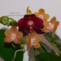 Phal. Tying Shin Coffee Candy и Phal. AL Sun Hannover sun