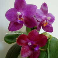 Phal. Ember и  Phal. Mituo Sun Mituo 1 x Phal. Lds Bear Queen