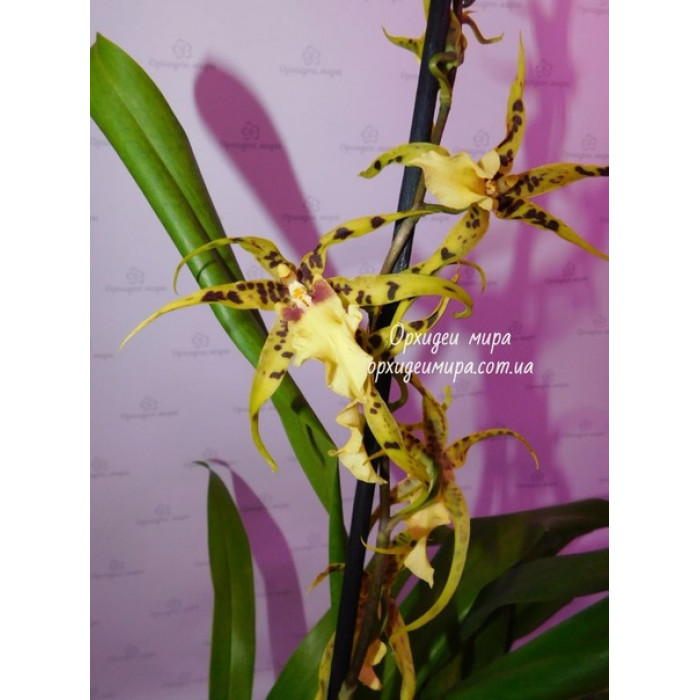 Miltassia Golden Spider Copius