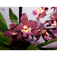Odontoglossum Purple Rain