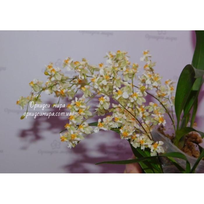 Онцидиум (Twinkle Fragrance Fantasy)