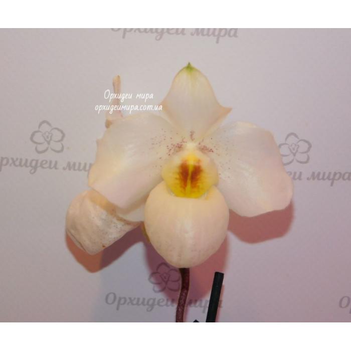 Пафиопедилум (Armeni White)