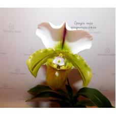 Paph. Cocoa Green х Spicerianum